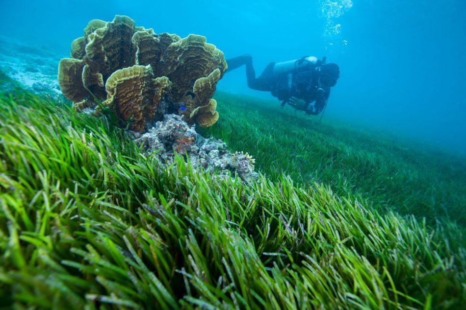 scuba diver swimming over seagrass meadows