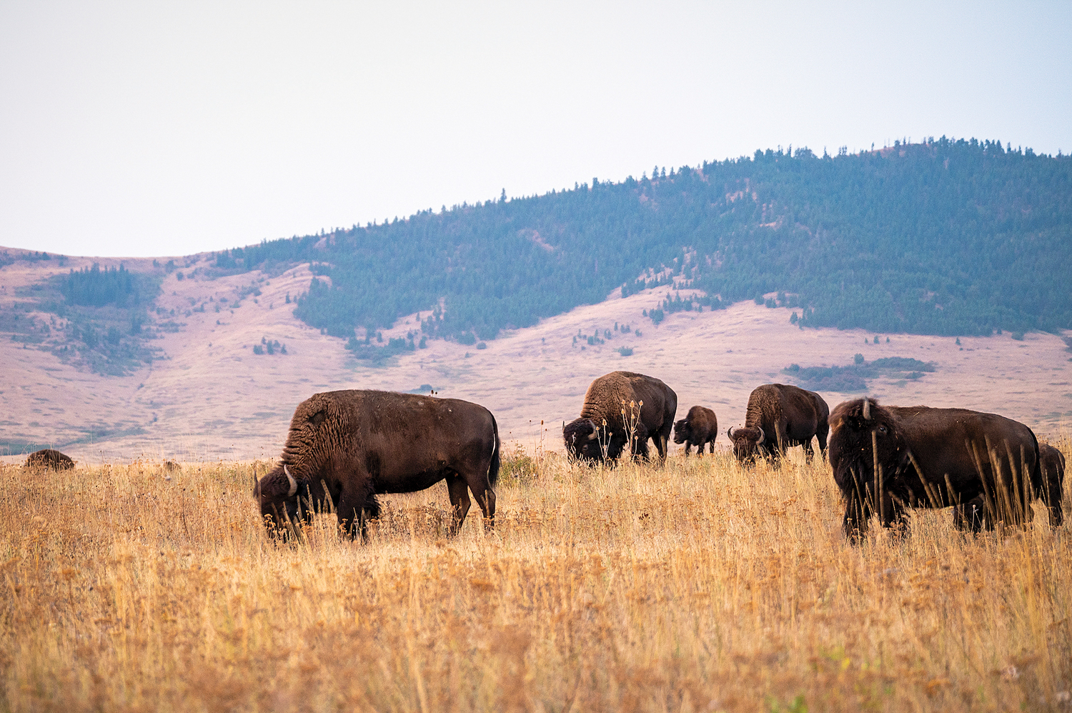 bison in field in Montana